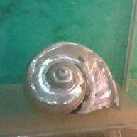 糯米海螺丸子