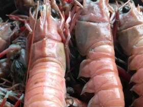 麻辣海龙虾,野生海龙虾