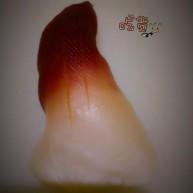北极贝皇寿司