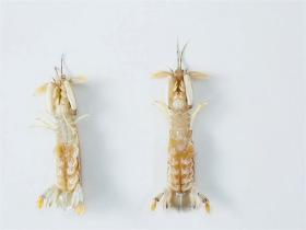 3个实用小技巧,帮你挑出最好吃的皮皮虾