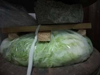 东北酸菜,塑料袋底部洒一把食盐,尽量均匀铺开。 烫过的白菜一颗一颗放入大缸里的袋子里,每层都码放整齐点。
