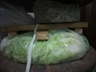 东北酸菜,如图,白菜放满后,扎紧袋子口,这时往缸里加入温水,不会溢出即可。