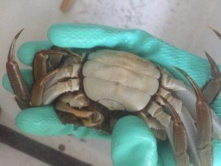 螃蟹螃蟹+#人民的美食#,下一步就是绑架它们,用左手握好,再把八只脚摆放整齐,拿一根绳子开始绑。一定要绑紧(我就是太小心翼翼没绑紧,蒸的时候腿全爬出来啦!)