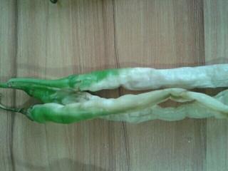 自制白辣椒,像这种焯水没焯到位的怎么晒也晒不白的。
