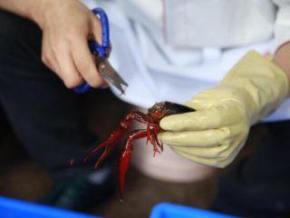 """麻辣小龙虾,小龙虾的脑壳里有味道鲜美的""""黄"""",所以再清洗的时候可以用剪刀从头部上往斜下方大约45度的角度剪下,就可以在保留""""黄""""的情况下将胃囊取出"""