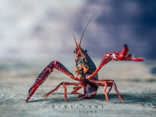 麻辣小龙虾,挑选的时候一定要选活虾,买回来最好清水养一下,可以去泥沙;