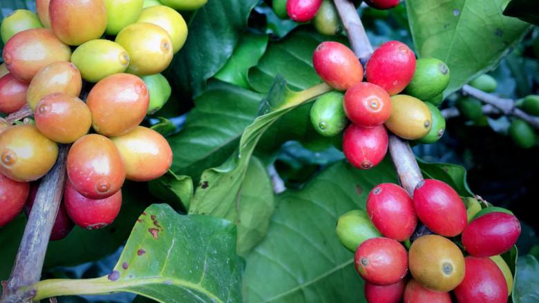 寻觅一杯有温度的咖啡——咖啡庄园导览