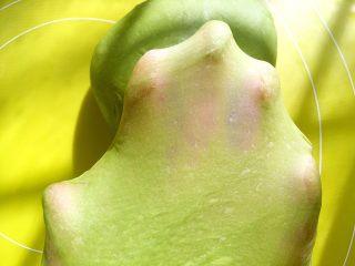 麻薯抹茶软欧,揉好的面团切下一块,可以撑出有弹性的手套膜