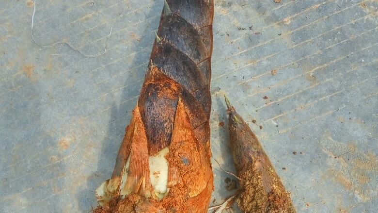 """农家干菜油焖春笋,挖出来了,边上那只小的就是因为看它小我没盘土,结果一锄头下去,只挖到了一个尖,肥美的根部还在土里。大的是乡邻帮""""盘""""的,技术决定了成果。"""