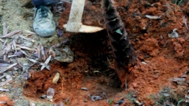"""农家干菜油焖春笋,挖笋子叫""""盘笋""""。要把周围的土都挖开,一直找到竹根,从根上挖断。这样笋子才完整。"""