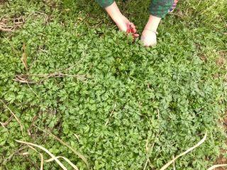蒿子粑粑,野外采摘鲜嫩的蒿子
