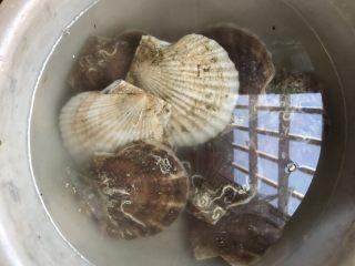 粉丝蒸扇贝,扇贝买回来后用细盐水浸泡一会儿,用刷子把贝壳刷洗干净。