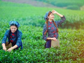 来一场茶旅吧,采茶、品茶、再听茶戏,感受不一样的茶文化