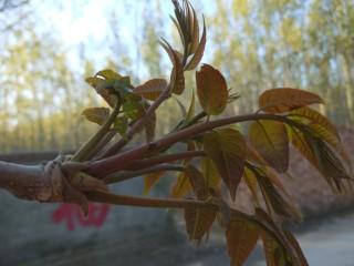 春天特色\炸香椿鱼,香椿长到四个叶正好食用,很嫩。