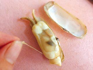 蒜蓉粉丝蒸蛏子,剪掉一半蛏子壳,去除黑边线