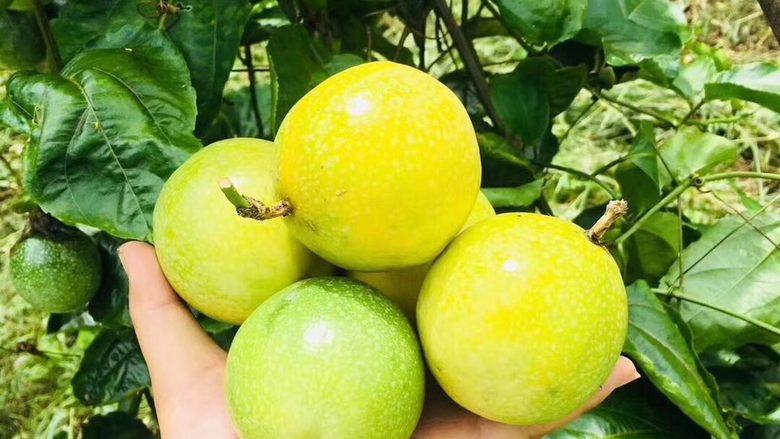 """冬喝金色百香果蜂蜜茶,这是新摘下来的<a style='color:red;display:inline-block;' href='/shicai/ 96049'>金色百香果</a>,色泽金黄,鲜嫩多汁。 百香果原产巴西,俗称""""巴西果""""、""""鸡蛋果"""",因其果汁营养丰富,气味特别芳香,可散发出香蕉、菠萝、柠檬、石榴等众多水果的香味而被举为""""百香果"""",又有 """"果汁之王""""的美称。百香果含有人体所需17种氨基酸、多种维生素和类胡萝卜素,还有丰富的钙、磷、铁等物质及微量元素,所以百香果具有极高的营养价值和养生价值。  百香果有两种颜色,一种是紫色的百香果,一种是金色的百香果,金色的百香果更加香甜可口。"""