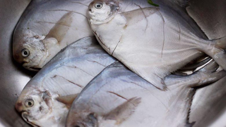 酱焖海鲳鱼,把所有的鲳鱼都改刀后。