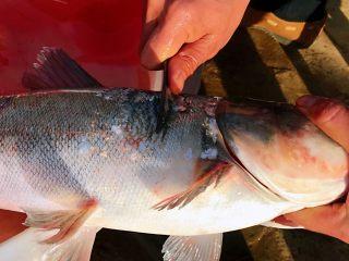 酸菜鱼#年年有鱼#,草鱼去鳞、去鳃、去内脏洗干净。