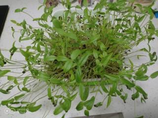 清炒水培芽苗菜、黄瓜丝,纯水培育的芽苗菜。