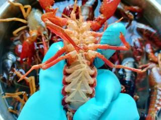 青花椒辣卤小龙虾,带上橡胶手套,用小牙刷将小龙虾刷洗干净。