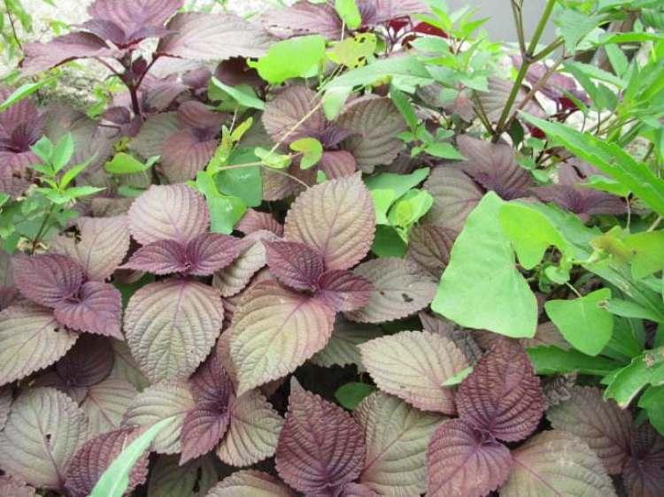 紫苏叶的常见吃法有哪些?紫苏叶不能与哪些菜同吃呢?