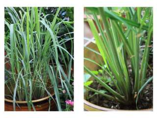 香茅草的功效与作用是什么?作为调料怎么使用