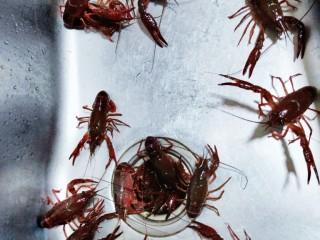 爆炒小龙虾,小龙虾用水冲冲表面污垢