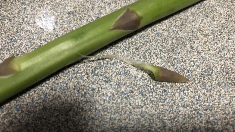 芦笋炒蘑菇,去除茎上的枝叶。