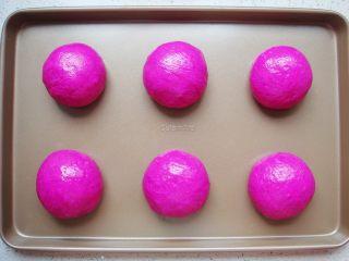 火龙果软欧包,依次团成小圆球收口向下,摆放在烤盘上。表面刷上一层薄薄的食用油
