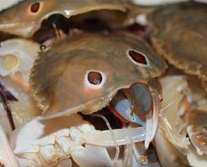豆酱焗花蟹,花蟹洗净,剥开壳,去除蟹腮等杂物,切块