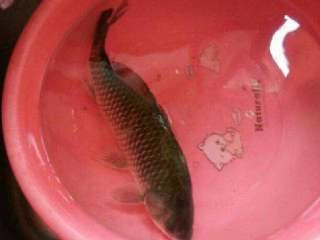 养生鱼汤,抓的野生鱼洗干净杀好