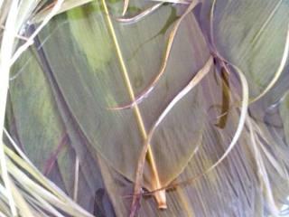 蜜枣粽子,粽叶和绳,用水浸泡后,在开水中煮一会,在冲洗干净。